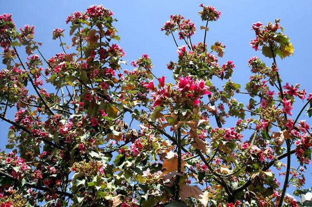 Брахихитон - Дерево счастья (640x426, 144Kb)