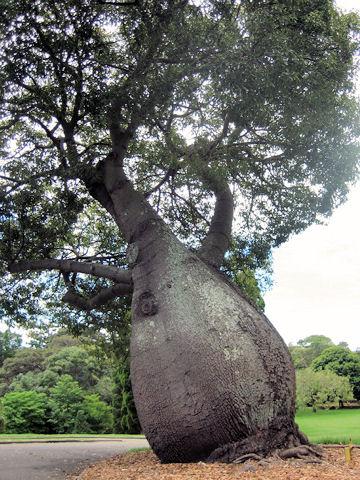 Брахихитум - Бутылочное дерево (360x480, 88Kb)