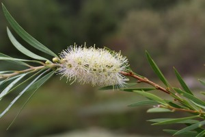 Callistemon-seiberi-River-Bottlebrush-4-300x200 (300x200, 15Kb)