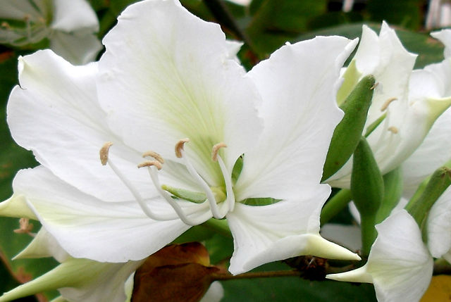 Баухиния . Орхидейное дерево . (640x429, 45Kb)
