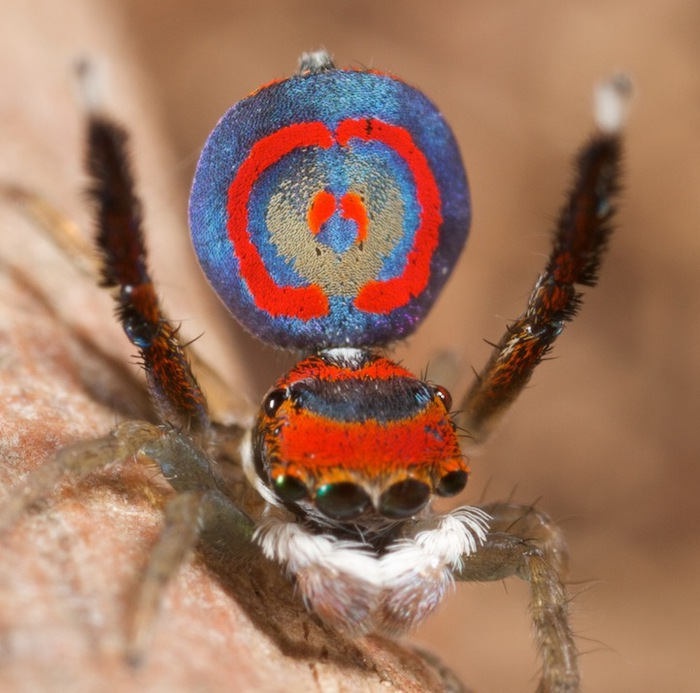 Seven new species of dancing peacock spider found