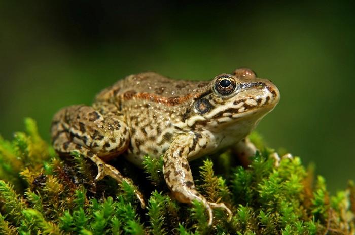 3937385_Frog (700x463, 102Kb)