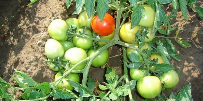 sorta-tomatov-1 (700x350, 99Kb)