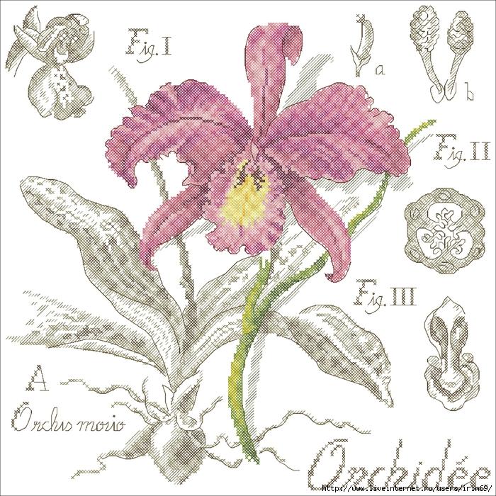 12673_Botanika_Orkhid (700x700, 428Kb)