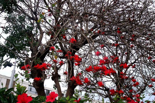 Эретрина . Коралловое дерево . Петушиный гребень . (640x426, 150Kb)
