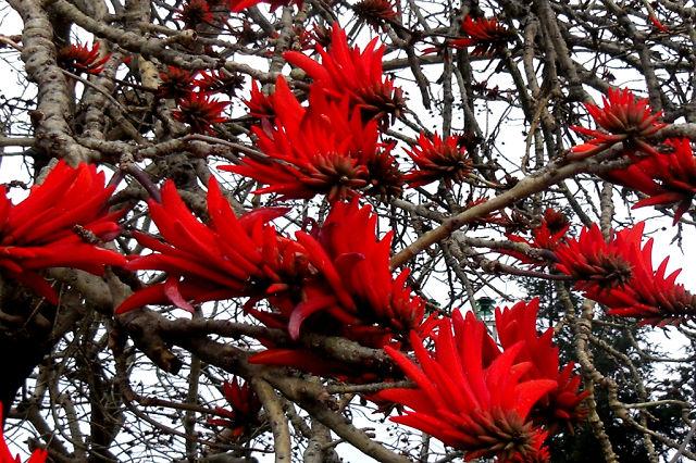 Эретрина . Коралловое дерево . Петушиный гребень .1 (640x426, 125Kb)