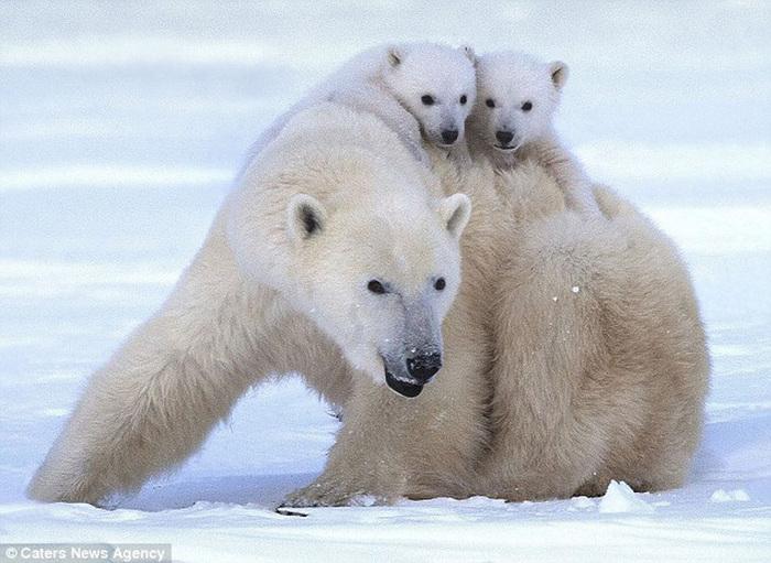 прикольные фото животных белые медведи (700x511, 147Kb)