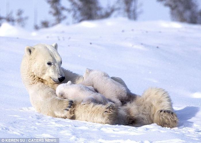 прикольные фото животных белые медведи 1 (700x498, 114Kb)