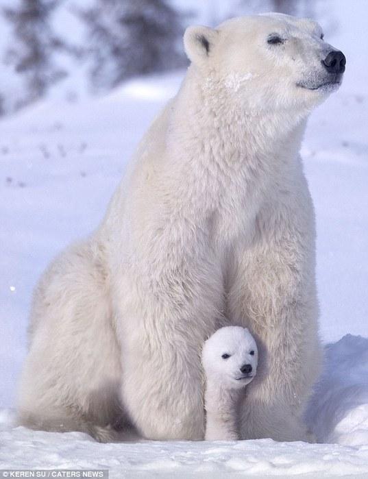 прикольные фото животных белые медведи 7 (537x700, 69Kb)