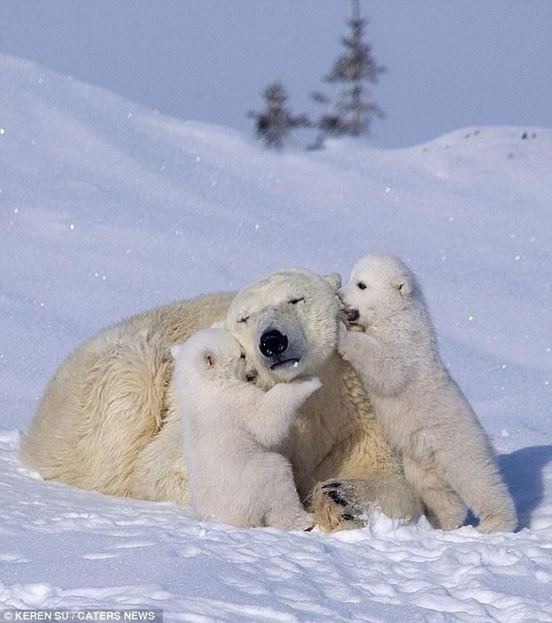 прикольные фото животных белые медведи 8 (619x700, 95Kb)