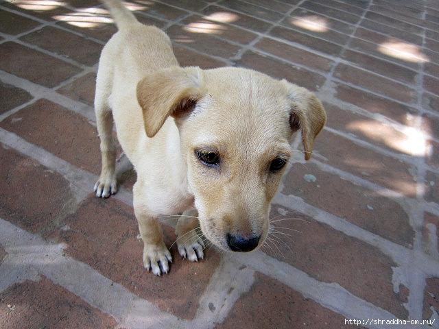 собака в Тируваннамалае 1 (640x480, 217Kb)