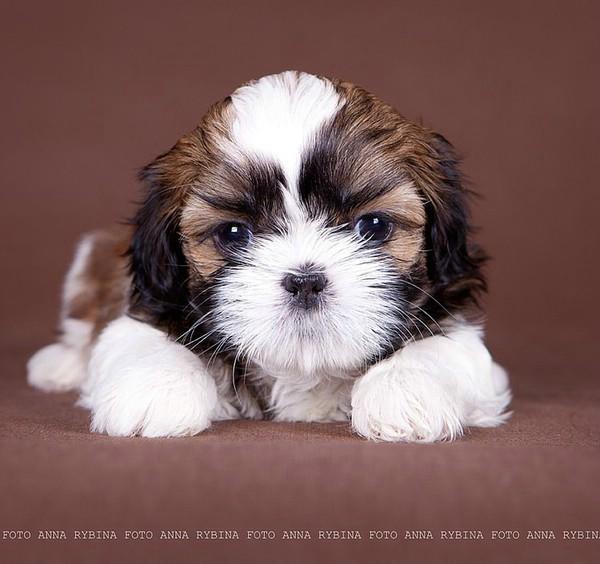 собаки породы ши-тцу фото/4552399_ (600x564, 68Kb)