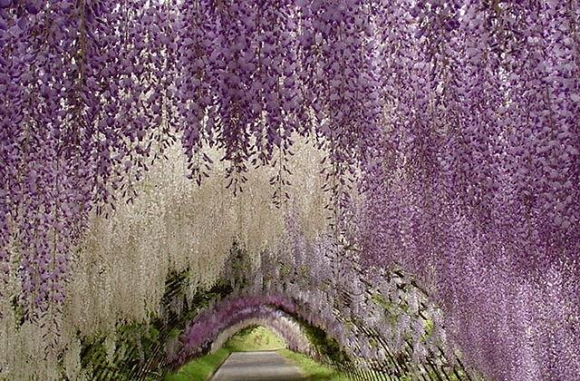 Японский Парк цветов Асикага 2 (640x420, 104Kb)