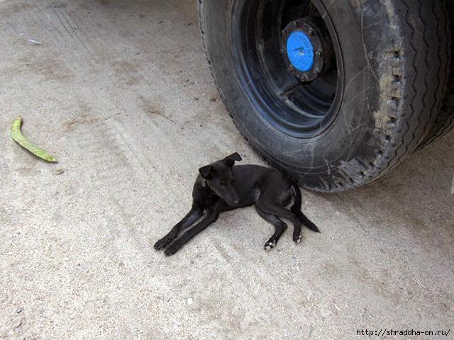 собака в Тируваннамалае 5 (640x480, 286Kb)