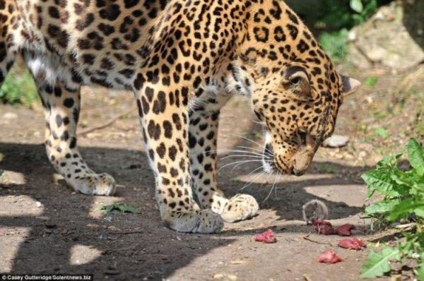 leopard_1 (600x398, 68Kb)