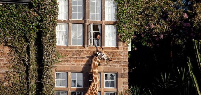 giraffe-manor-6 (700x332, 131Kb)