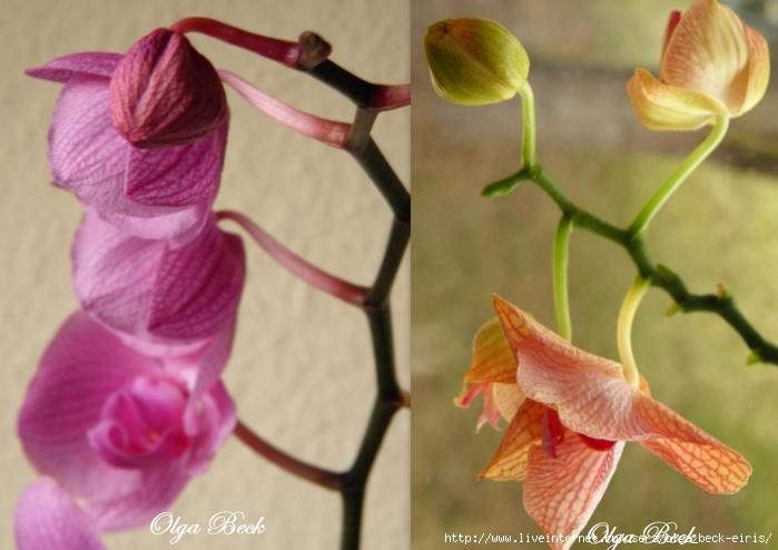Орхидеи1 (700x494, 206Kb)