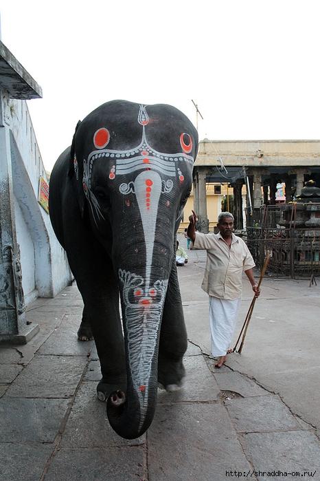 Индия, Канчипурам, храмовый слон, 1 (466x700, 247Kb)