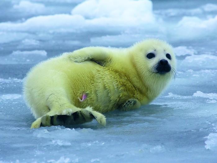 Зеленец – новорожденный детеныш гренландского тюленя (700x524, 78Kb)