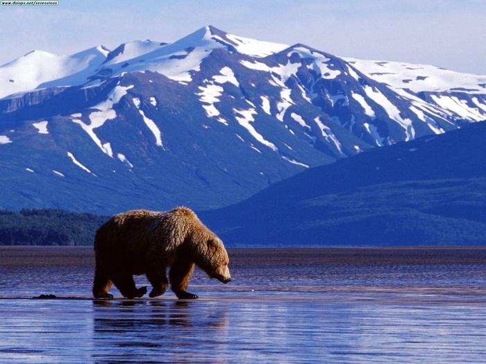 Гренландия медведь (700x525, 460Kb)