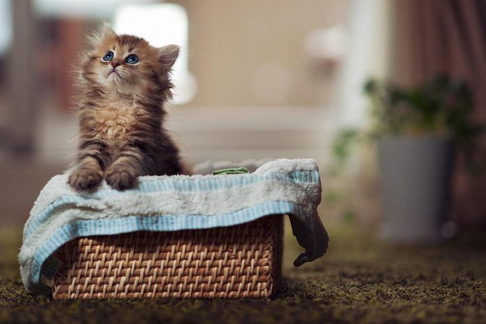 Daisy_kitten_22 (700x467, 45Kb)
