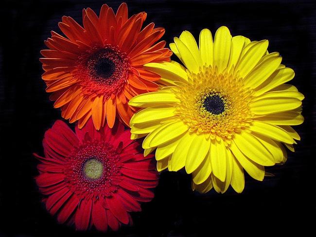 Цветок как ромашка но в разных цветах