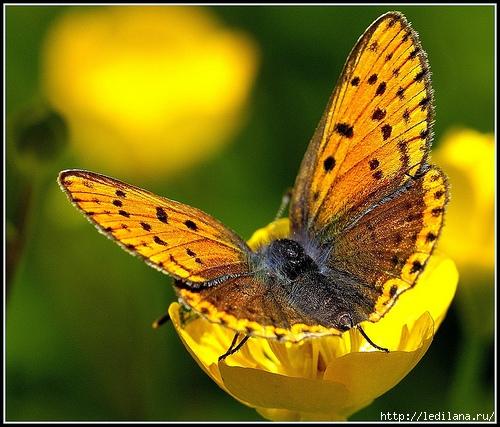 бабочка3 (500x427, 201Kb)