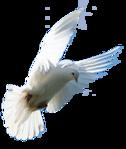 Превью Голуби_на_прозрачном_слое (27) (394x467, 115Kb)