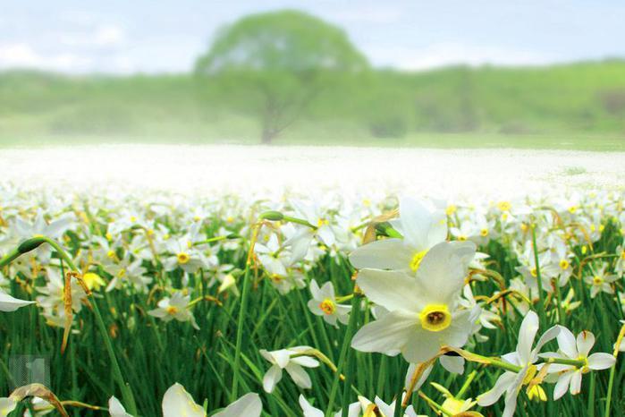 Долина нарциссов, возле г. Хуст на Закарпатье, является единственным местом в Украине, где в естественных условиях растут белоснежные нарциссы узколистые (700x466, 47Kb)