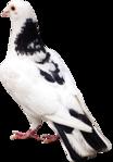 Превью Голуби (3) (104x149, 19Kb)
