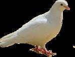 Превью Голуби (13) (149x113, 15Kb)