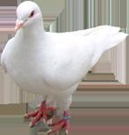 Превью Голуби (26) (142x149, 24Kb)