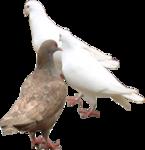 Превью Голуби (28) (145x150, 25Kb)