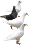 Превью Голуби (30) (96x149, 18Kb)
