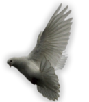 Превью Голуби (39) (130x149, 22Kb)