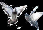 Превью Голуби (45) (700x480, 231Kb)