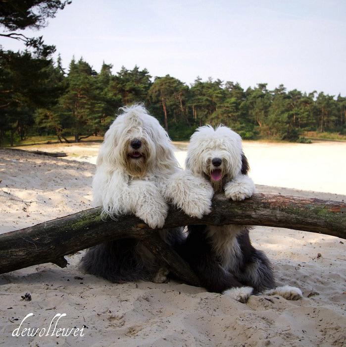 бобтейл фото собак (699x700, 187Kb)