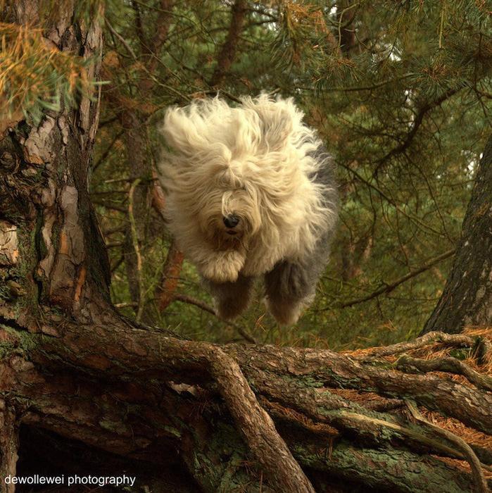 бобтейл фото собак 5 (699x700, 258Kb)
