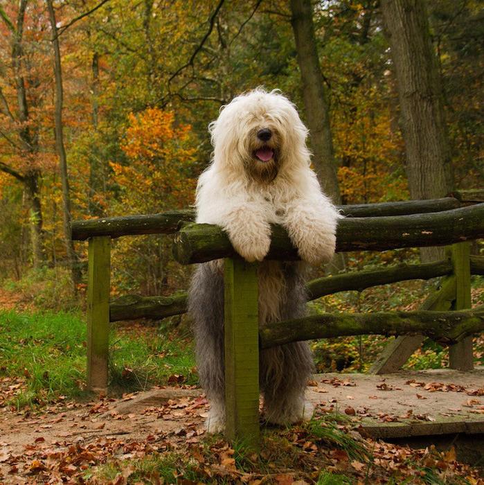 бобтейл фото собак 7 (699x700, 280Kb)