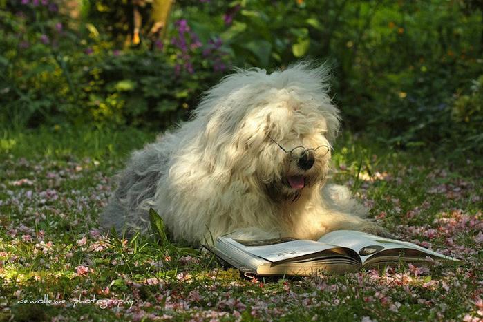 бобтейл фото собак 8 (700x466, 163Kb)