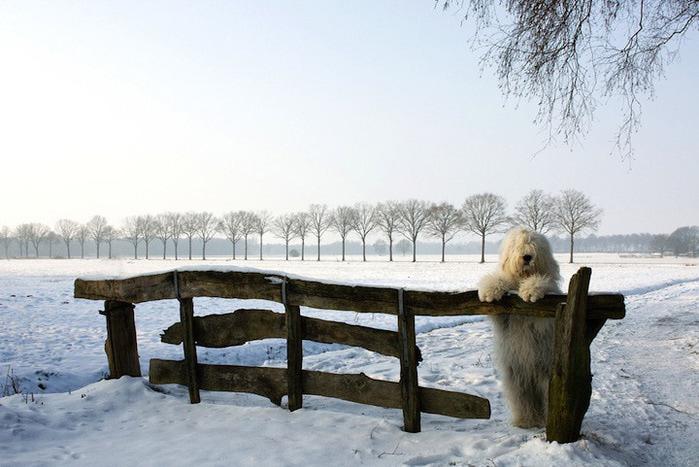 бобтейл фото собак 10 (700x467, 112Kb)