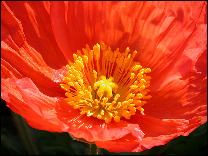 3166706_red_poppy_2_11_11_by_thom_b_fotod39ax4g (800x600, 151Kb)
