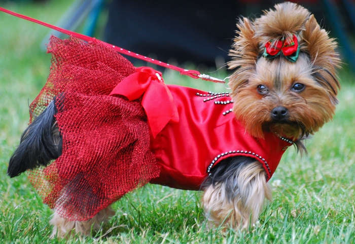 Yorkshire_terrier_R_001 (700x481, 308Kb)