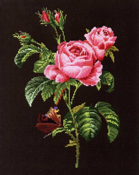 Центифольная (прованская) роза)баб (555x700, 106Kb)
