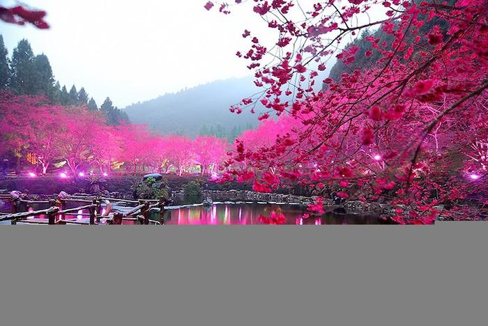 2835299_CherryBlossom1 (700x468, 144Kb)