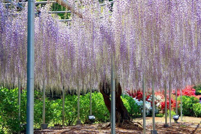 Асигака в начале мая цветет, на японском её название звучат как Fuji - фото 7