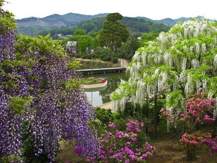 Асигака в начале мая цветет, на японском её название звучат как Fuji - фото 10