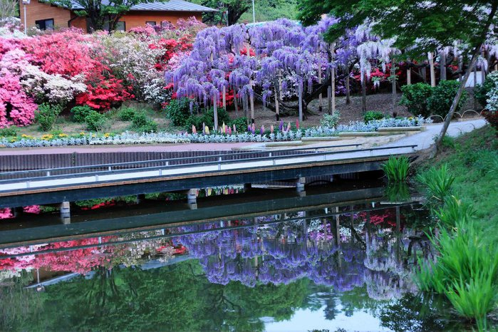 Асигака в начале мая цветет, на японском её название звучат как Fuji - фото 12
