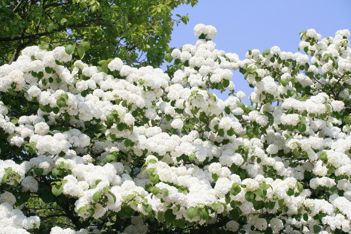 Асигака в начале мая цветет, на японском её название звучат как Fuji - фото 14