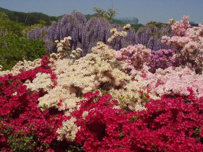 Асигака в начале мая цветет, на японском её название звучат как Fuji - фото 17